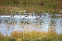 Community pond with Canadian Geese swimming, landscape feature amenity for Melcor REIT tenants